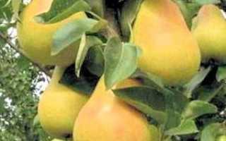 Советы по посадке и выращиванию груш сорта — Москвичка