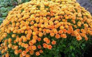 Хризантема многолетняя: посадка и уход, выращивание кустовой хризантемы в открытом грунте, фото