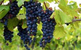 Виноград Изабелла: польза и вред для организма, как выглядит