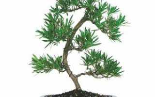 Бонсай подокарпус: пересадка и стрижка, полив и уход за вечнозеленым хвойным растением в домашних условиях