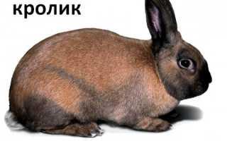 Тюрингенская порода кроликов с описанием и фото