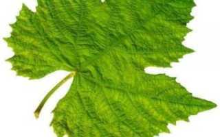 Виноградные листья – их свойства (польза и вред) и рецепт заготовки