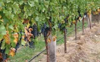 Когда сажать черенки винограда: лучшее время для посадки, особенности разведения, рекомендации по выращиванию и уходу