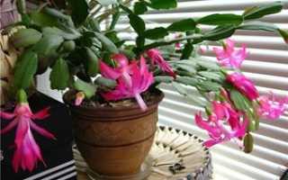 Декабрист: особенности, как размножать в домашних условиях, приготовление почвы для высадки