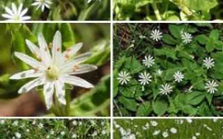 Звездчатка ланцетовидная (лесная, жестколистная): описание, где растет, лечебные свойства
