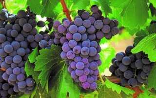 Обработка винограда от болезней и вредителей