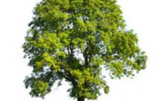 Ясень: фото дерева и листьев, описание