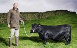 Уникальная карликовая порода коров — AgroXXI