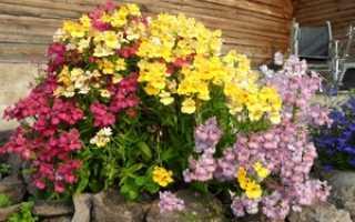 Выращивание немезии из семян в открытом грунте, подготовка рассады в домашних условиях, виды цветка