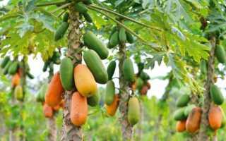 Фрукт папайя — выращивание в домашних условиях из семян