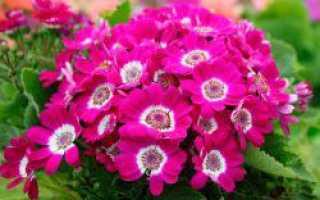 Цинерария: гибридная выращивание из семян, фото
