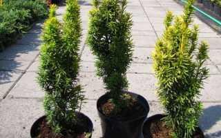 Тис ягодный — описание и сорта растения, посадка, выращивание и уход