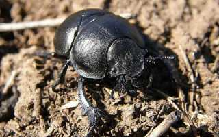 Вредитель жук стригун или жук кравчик