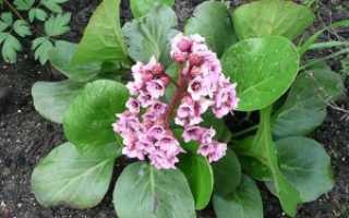 Как вырастить бадан, секреты посадки и ухода за цветами