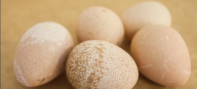 Яйца цесарки – польза и вред ( фото)