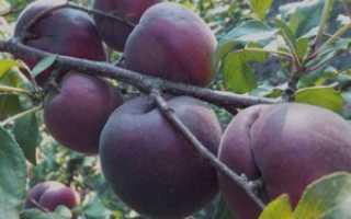 Абрикос Черный бархат: ботаническое описание и как правильно за ним ухаживать