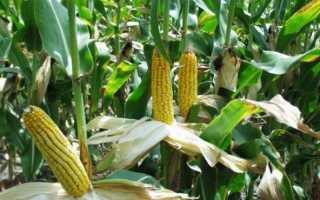 Уход за посевами кукурузы
