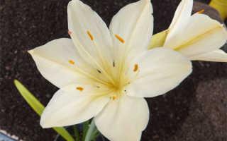 Уход за цветком валлота