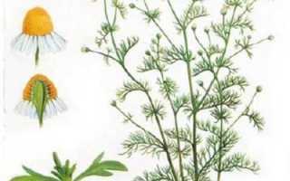 Настой ромашки: польза и вред, лучшие рецепты, противопоказания и применение