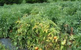 Фузариозное увядание томатов: лечение