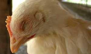 Пневмовирусная инфекция птиц