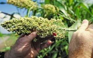 Агротехника выращивания сорго на силос и зеленый корм