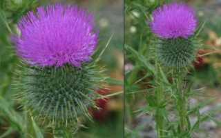 Бодяк виды и меры борьбы, лечебные свойства выращивание