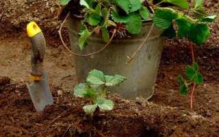 Подкормка клубники осенью: чем удобрять