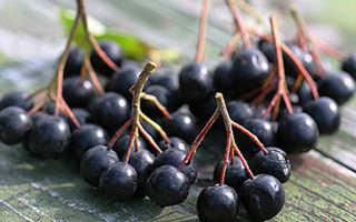 Черноплодная рябина: польза, вред и противопоказания для здоровья