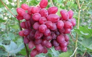 Виноград Велес: описание сорта кишмиш, посадка и уход за лозой