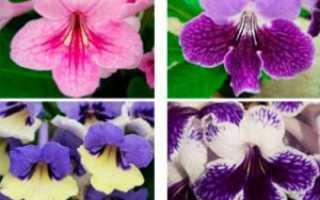 Выращивание стрептокарпусов из семян: как посеять травянистое растение