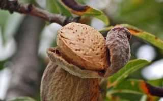 Виды и сорта миндаля, выращивание и применение кустарника на участке