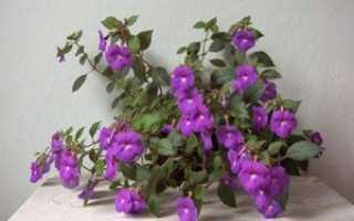 Выращивание ахименесов: посадка в домашних условиях, размножение цветка, уход за растением