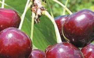 Дюк (гибрид вишни и черешни, черевишня)