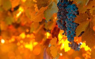 Уход за виноградом осенью: подготовка к зиме, обрезка, полив, уход