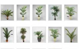 Список самых распространенных видов пальм