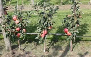 Колоновидная яблоня: правильная посадка и уход, В саду ()