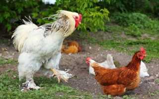 Породы лохматых кур: описание, фото