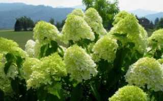 Гортензия метельчатая Лаймлайт: посадка и уход