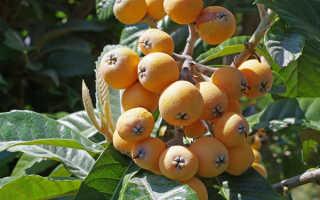 Особенности ухода за мушмулой, как вырастить экзотические фрукты