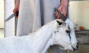 Как убивать и разделать козу на мясо: видео