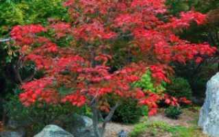 Выращивание клена японского: посадка, уход, размножение, фото, видео