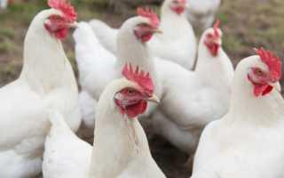 Русские белые куры: описание породы, фото и отзывы птицеводов о несушках