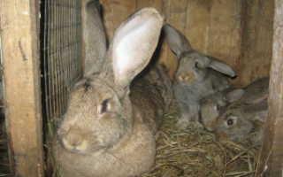 Кролик породы фландр (Бельгийский великан): содержание и разведение