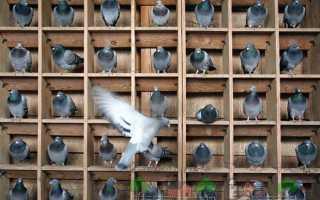 Обзор почтовых голубей: их виды, фото и видео