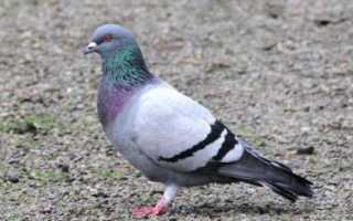 Виды голубей: фото и названия