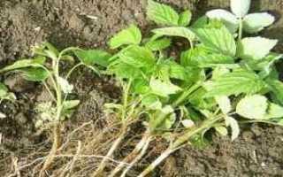Как сажать клубнику весной: выбираем место, грунт и способ посадки