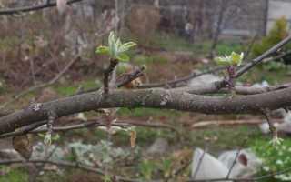 Яблоня — как заставить цвести и плодоносить, видео