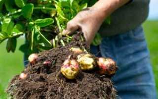 Цветки картофеля: лечебные свойства и противопоказания, применение в народной медицине