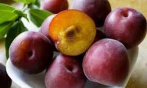 Кубанский черный: особенности выращивания черного абрикоса